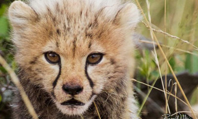 Cheetah Cub - Conjour Photography - Ryan Wilkie