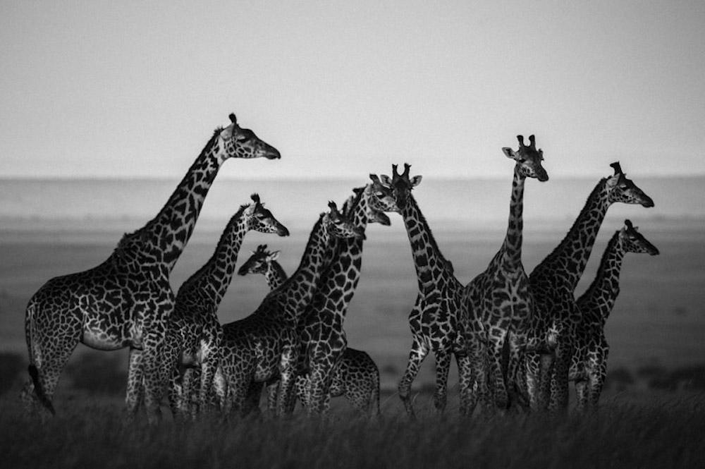 Laurent Baheux - Wild Africa - Wildlife Photography - Conjour