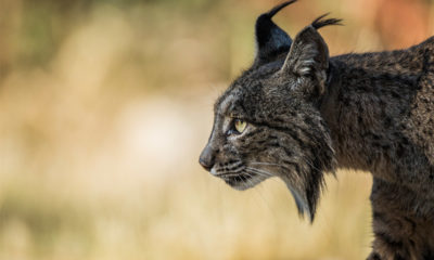 Luke Massey - Conjour - Iberian Lynx - Wildlife Photography - Feature