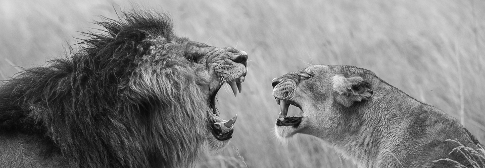 4 Scarface - Bringing Home the Human - Conjour Wildlife Photography Feature - Moira C Norris