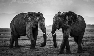 Wild Africa - Laurent Baheux - Kenya - Elephants - The Road Is Closed