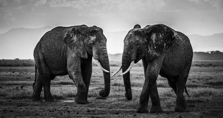 Wild Africa - Laurent Baheux - Kenya - Elephants - The Road Is Closed