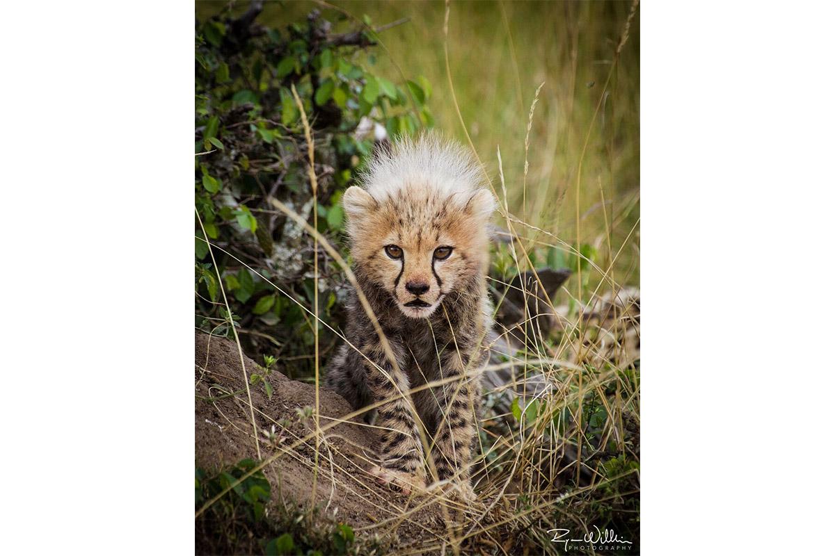 Cheetah Cub - Conjour Photography - Ryan Wilkie