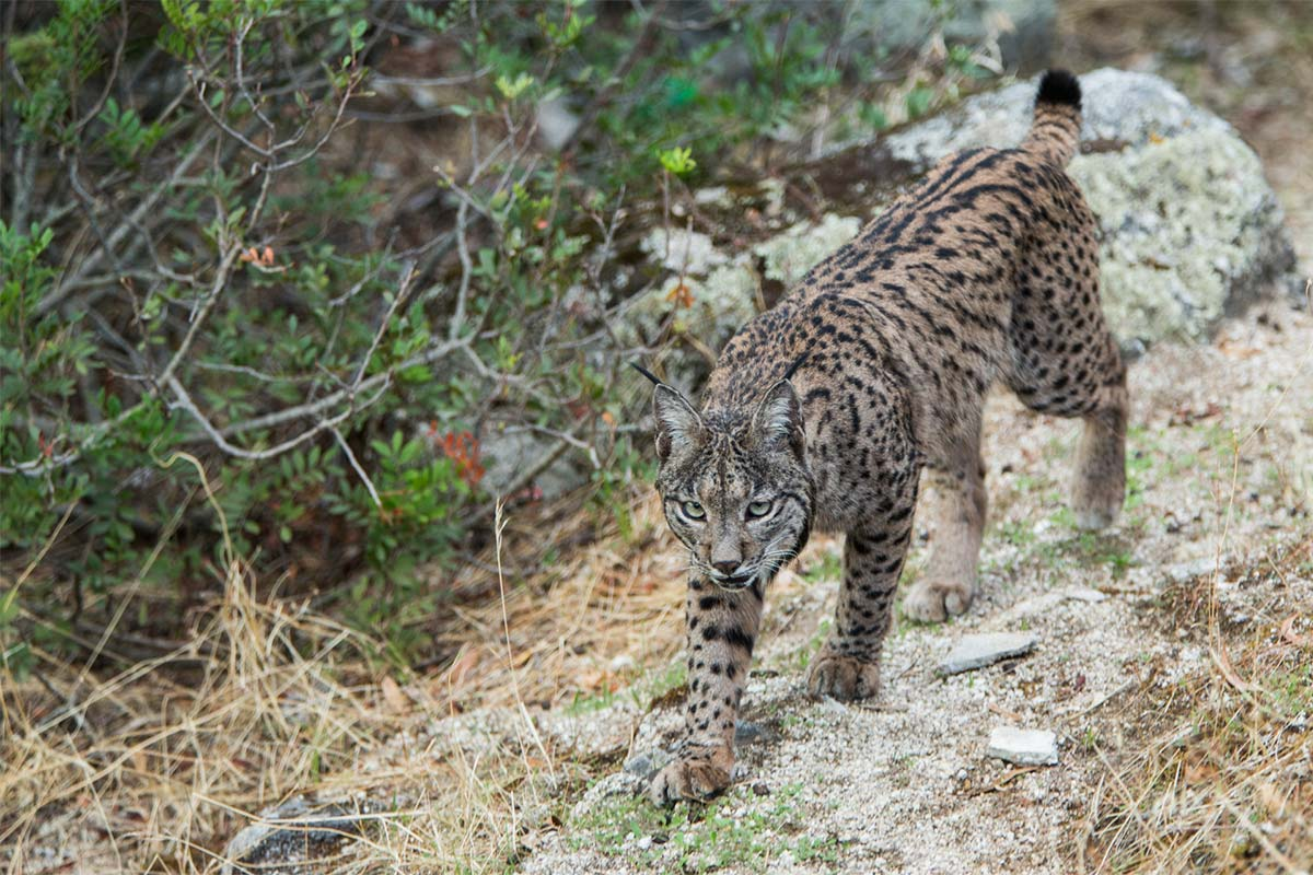 Luke Massey - Conjour - Iberian Lynx - Wildlife Photography - Feature