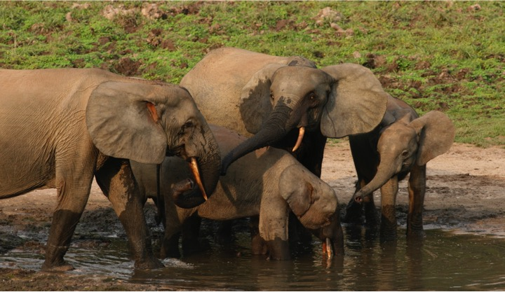 African Forest Elephant - Conjour Species Report