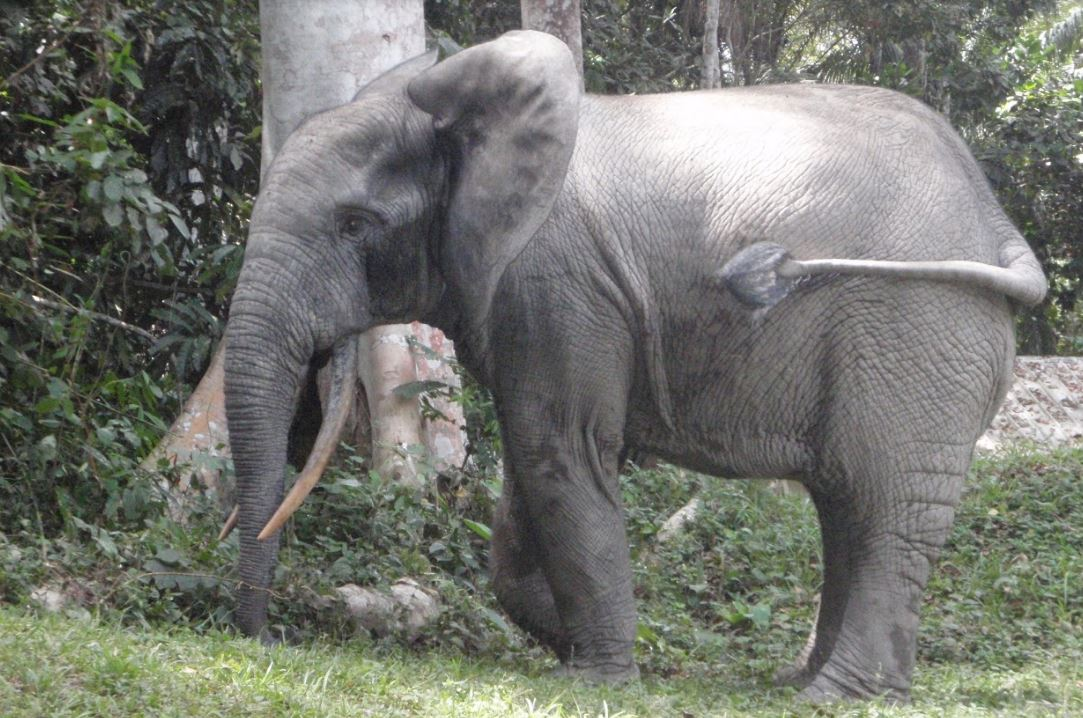 African Forest Elephant - Conservaton Report - Conjour - Dr Fiona Maisels
