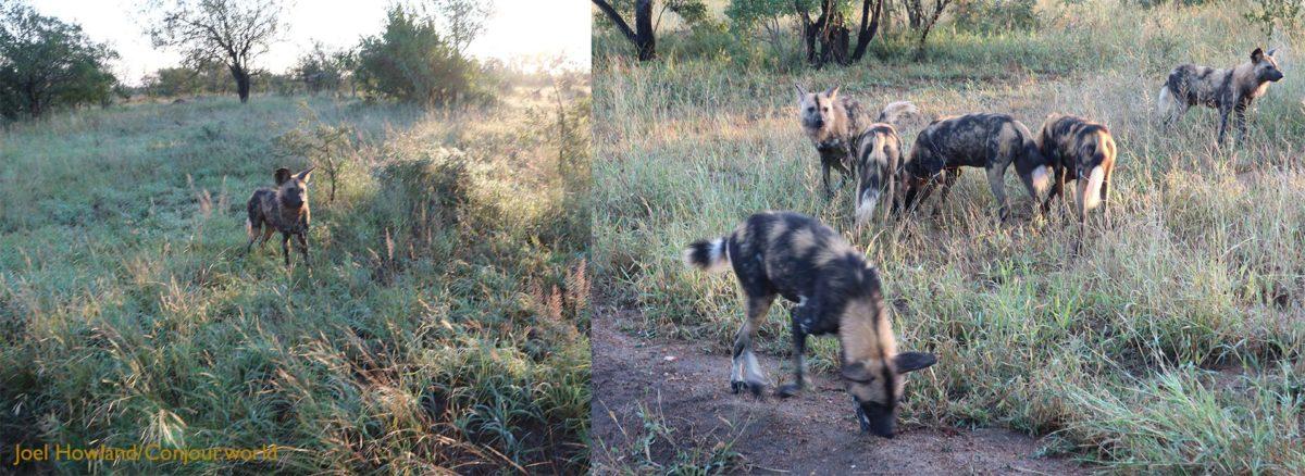 African Wild Dog - Conjour