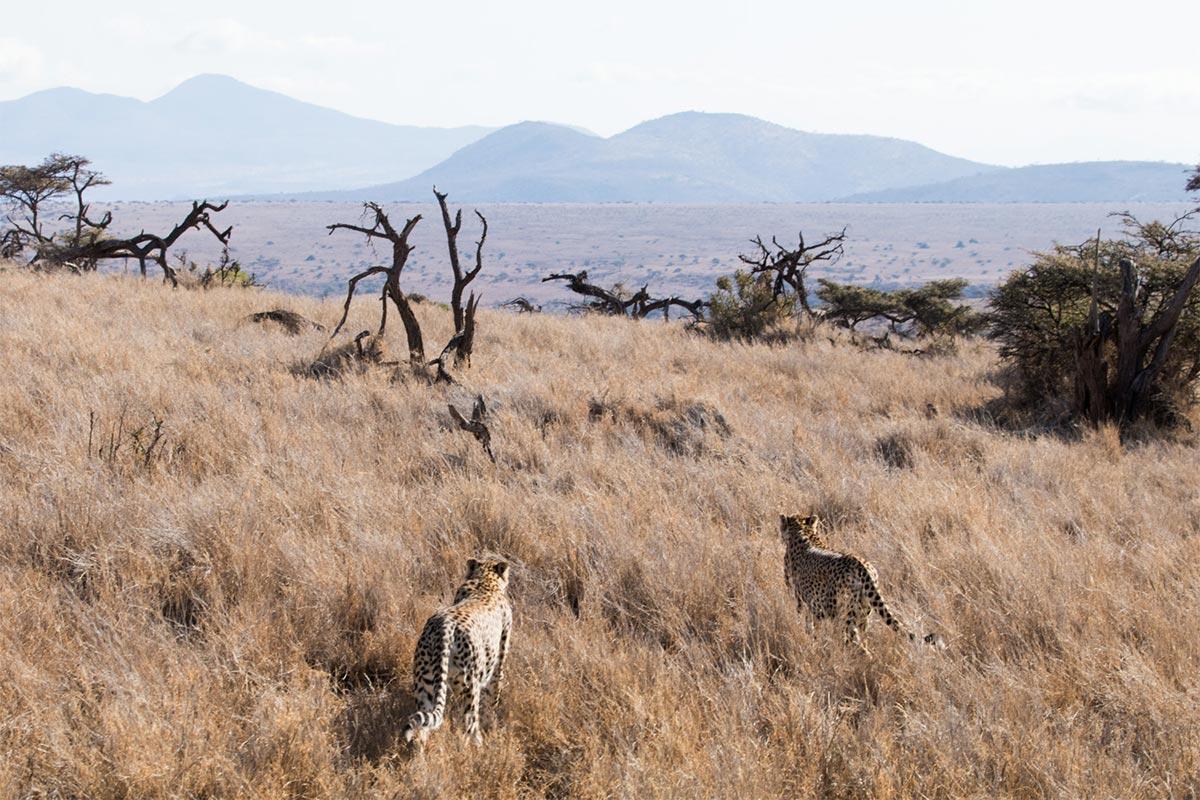 Alice Peretie - Cheetahs - Nature Conservation - Conjour 1