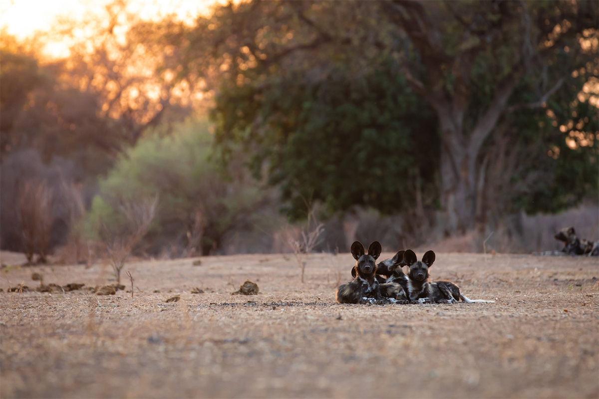Alice Peretie - Wild Dogs - Painted Wolves - Nature Conservation - Conjour 3