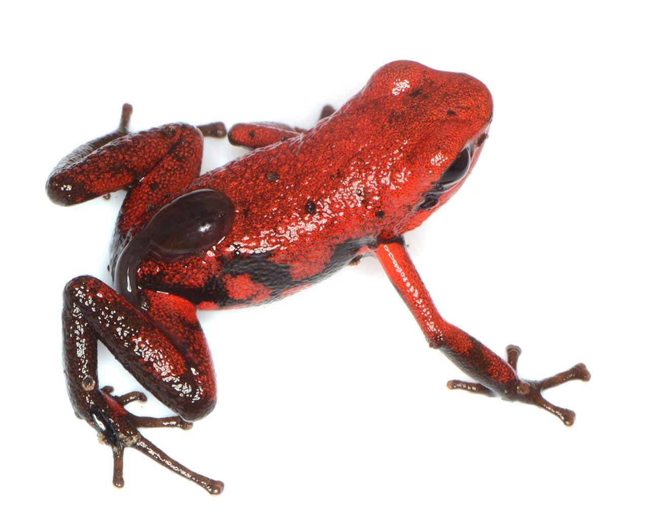 Andinobates - tadpole - Conjour