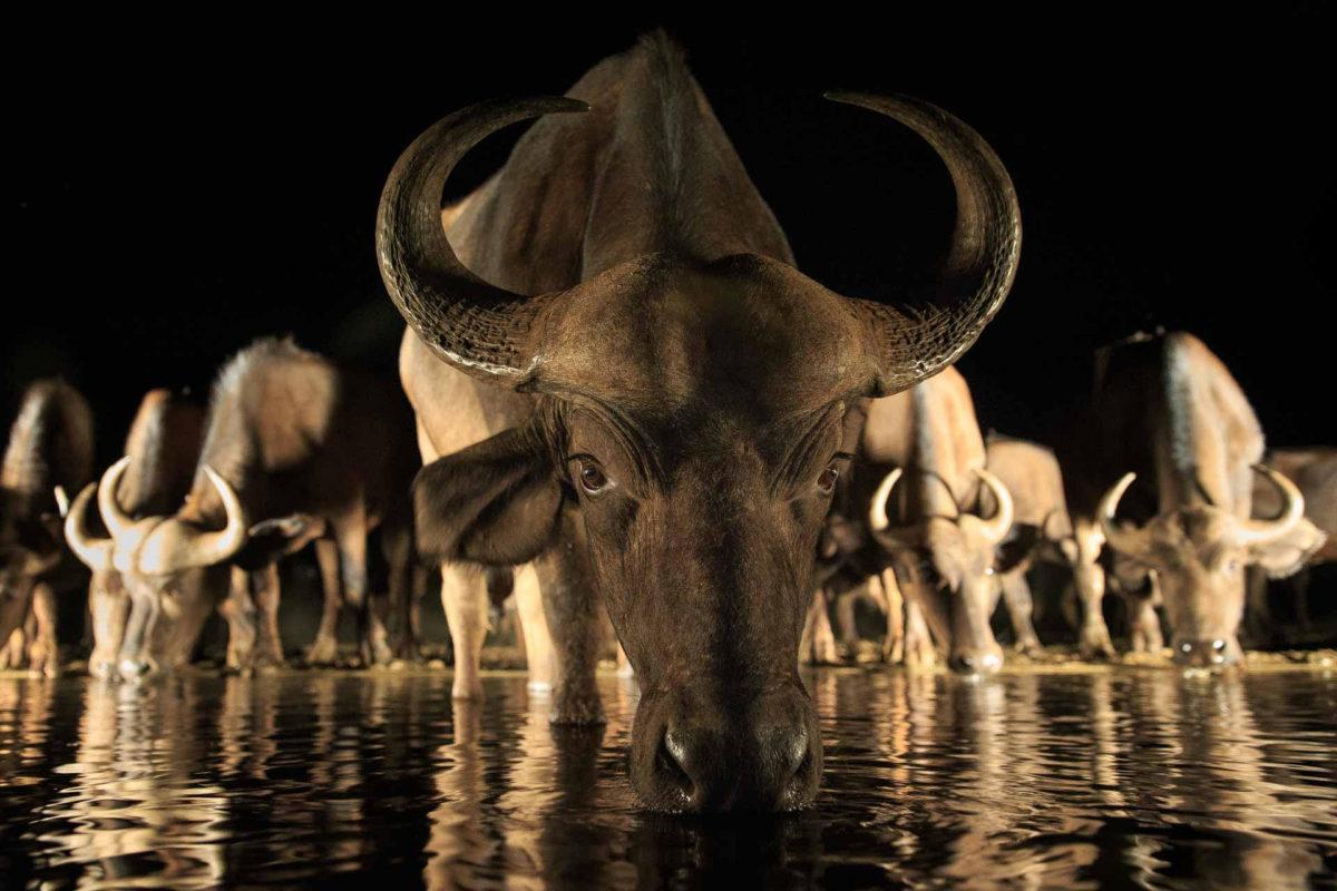 Andreas Hemb - Buffalo - Conjour Wildlife Photography