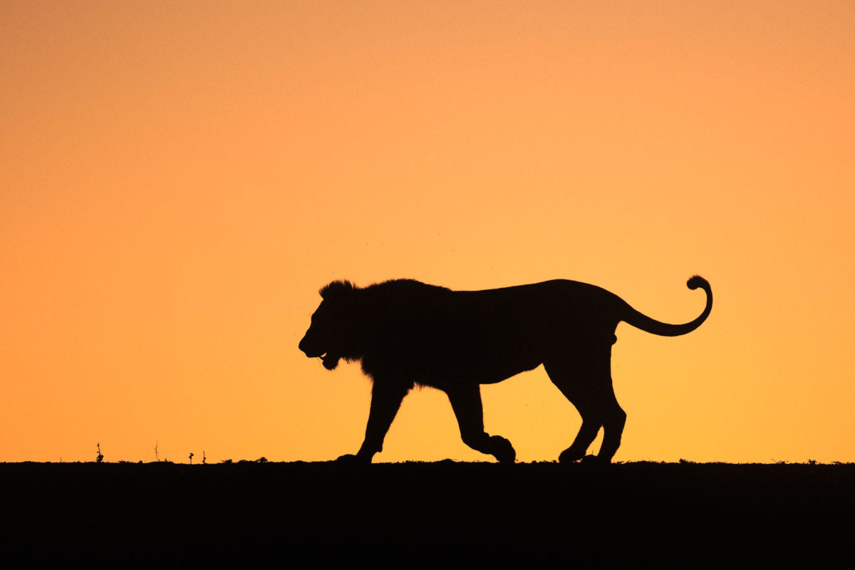 Lion - Andreas Hemb - Conjour Wildlife Photography