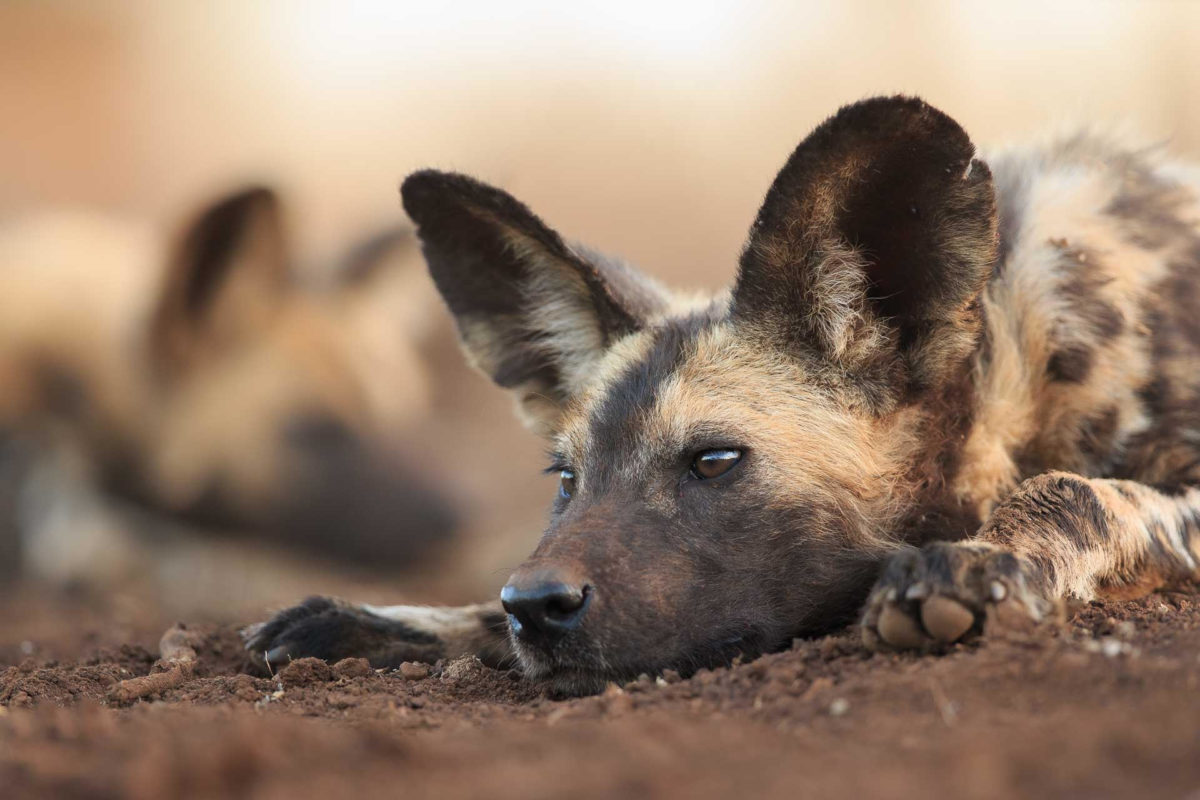 Wild dog - Andreas Hemb - Conjour Wildlife Photography