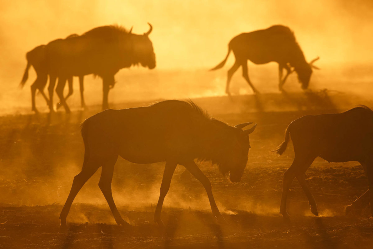 Andreas Hemb - Wildebeest - Conjour Wildlife Photography