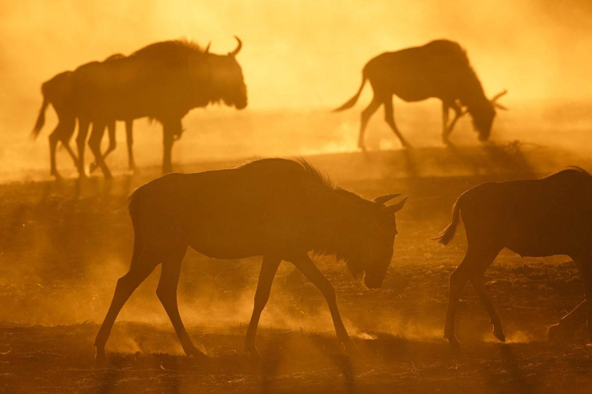 Andreas Hemb - Wildebeest - Conjour Wildlife Photography