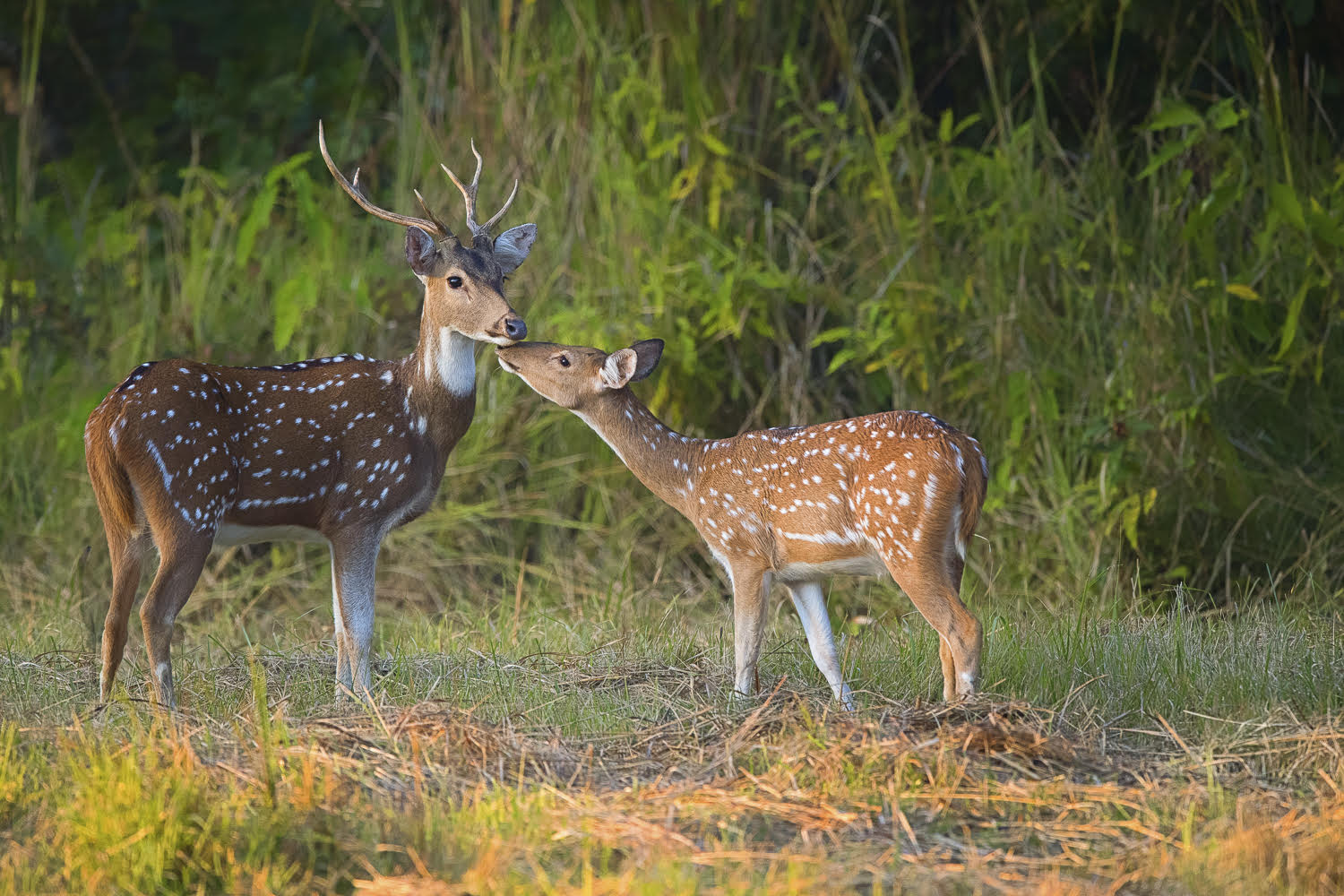 Spotted Deer - Courtesy of Fanny Lai and Bjorn Olesen