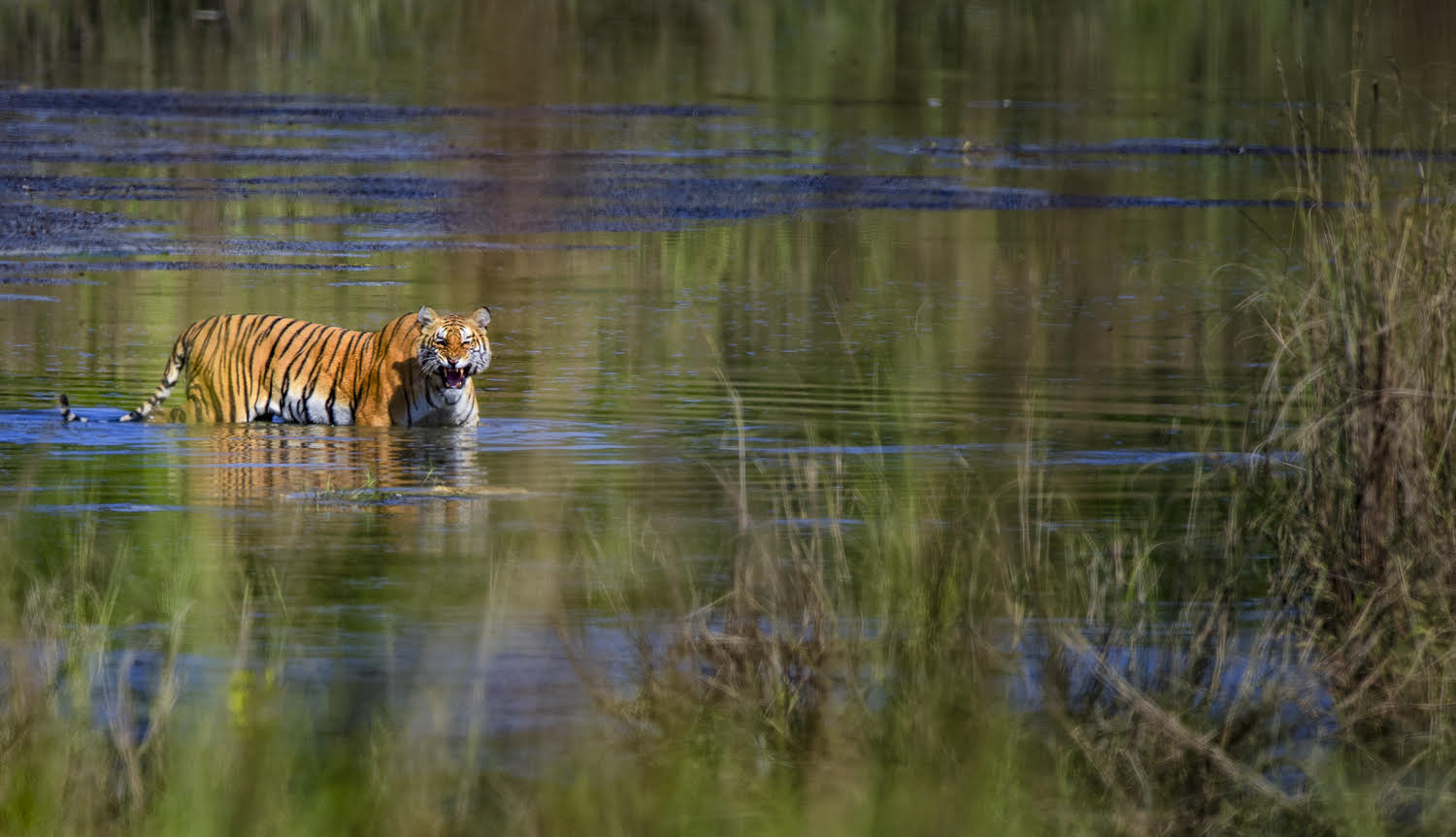 The elusive tiger - Courtesy of Fanny Lai and Bjorn Olesen