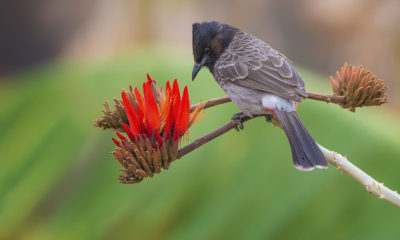 Birdlife: Red-crested Bulbul - Courtesy of Fanny Lai and Bjorn Olesen