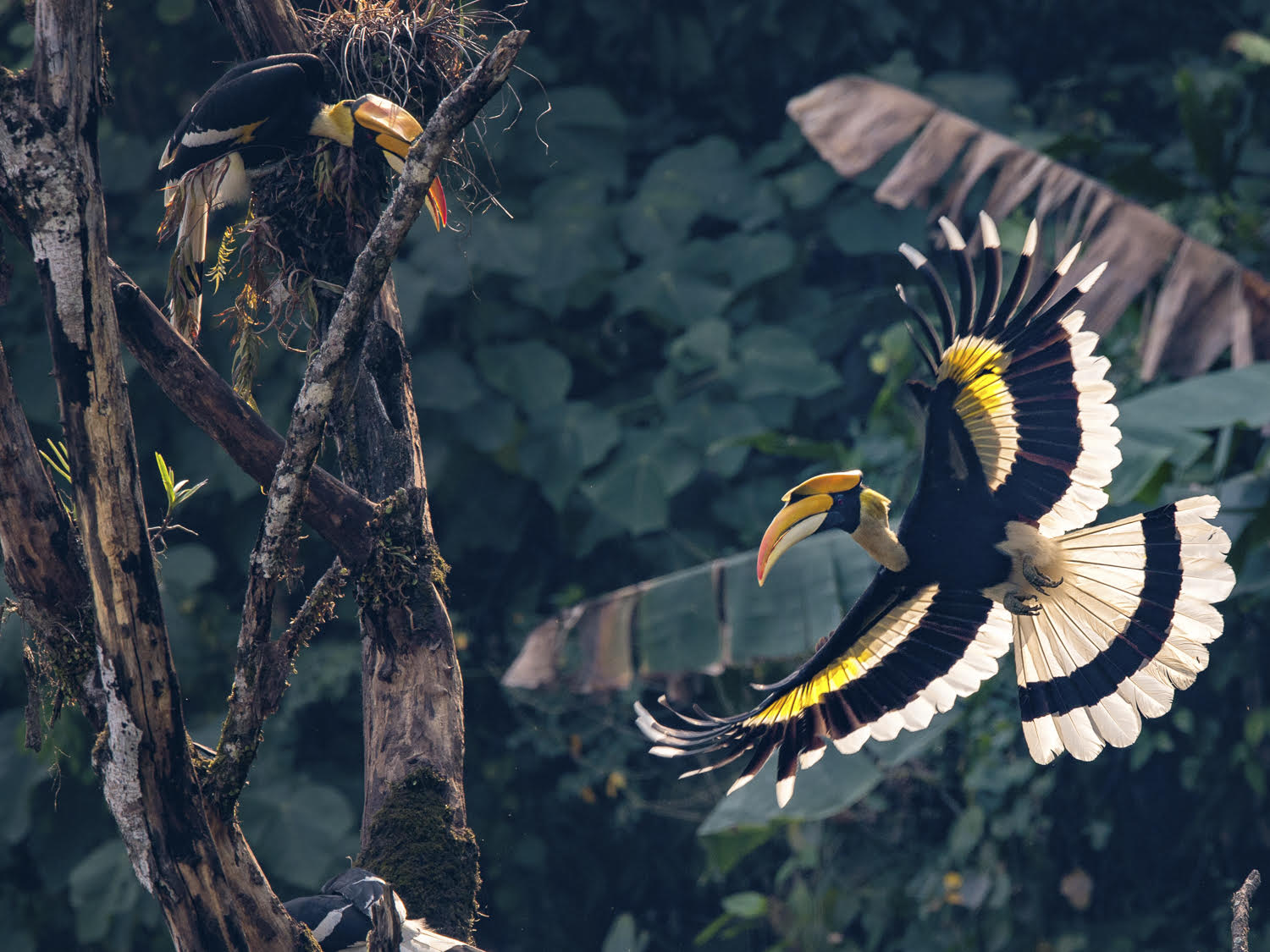 Birdlife: One of the many species of Hornbill featured in the book - Courtesy of Fanny Lai and Bjorn Olesen
