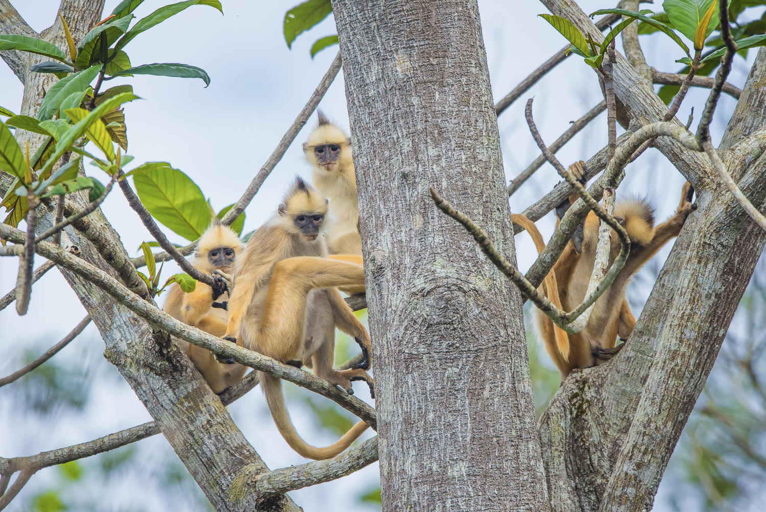 Langur and baby - Courtesy of Fanny Lai and Bjorn Olesen
