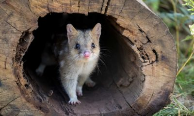 Aussie Ark - Saving Australias Endangered Animals - Conjour Editorial - Conservation - Eastern Quoll - Feature