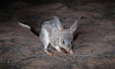 AWC - Feral-proof Fence - Bilby - Australian Animals