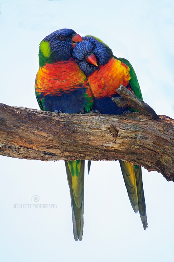 Australias Battle - Conjour - Lorikeet Lovers