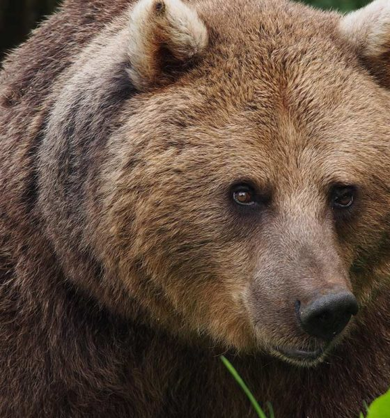Bears Wolves UK - Rewilding - Conjour Zoological Report - Bear Wood - European brown bear