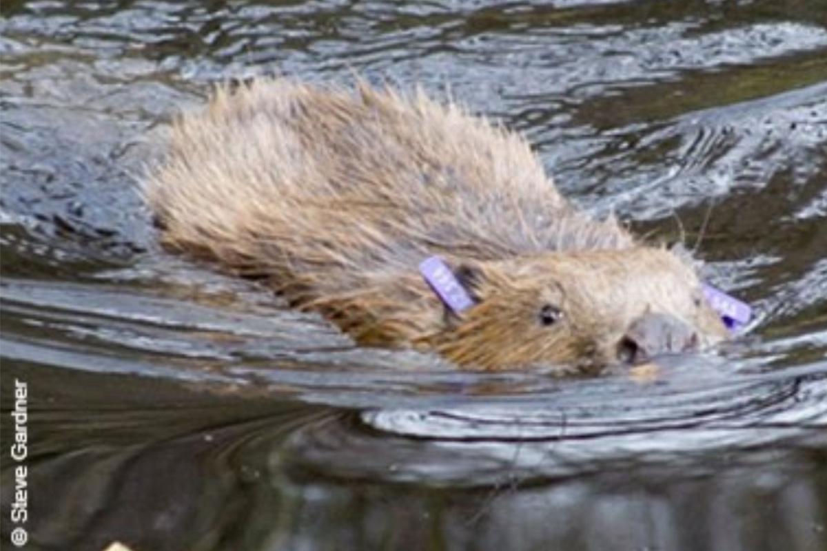 Beaver - SWT - Steve Gardner - Conjour