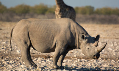 black rhinoceros Conjour conservation report
