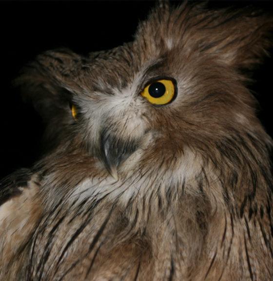 Blakistons Fish Owl - Banner