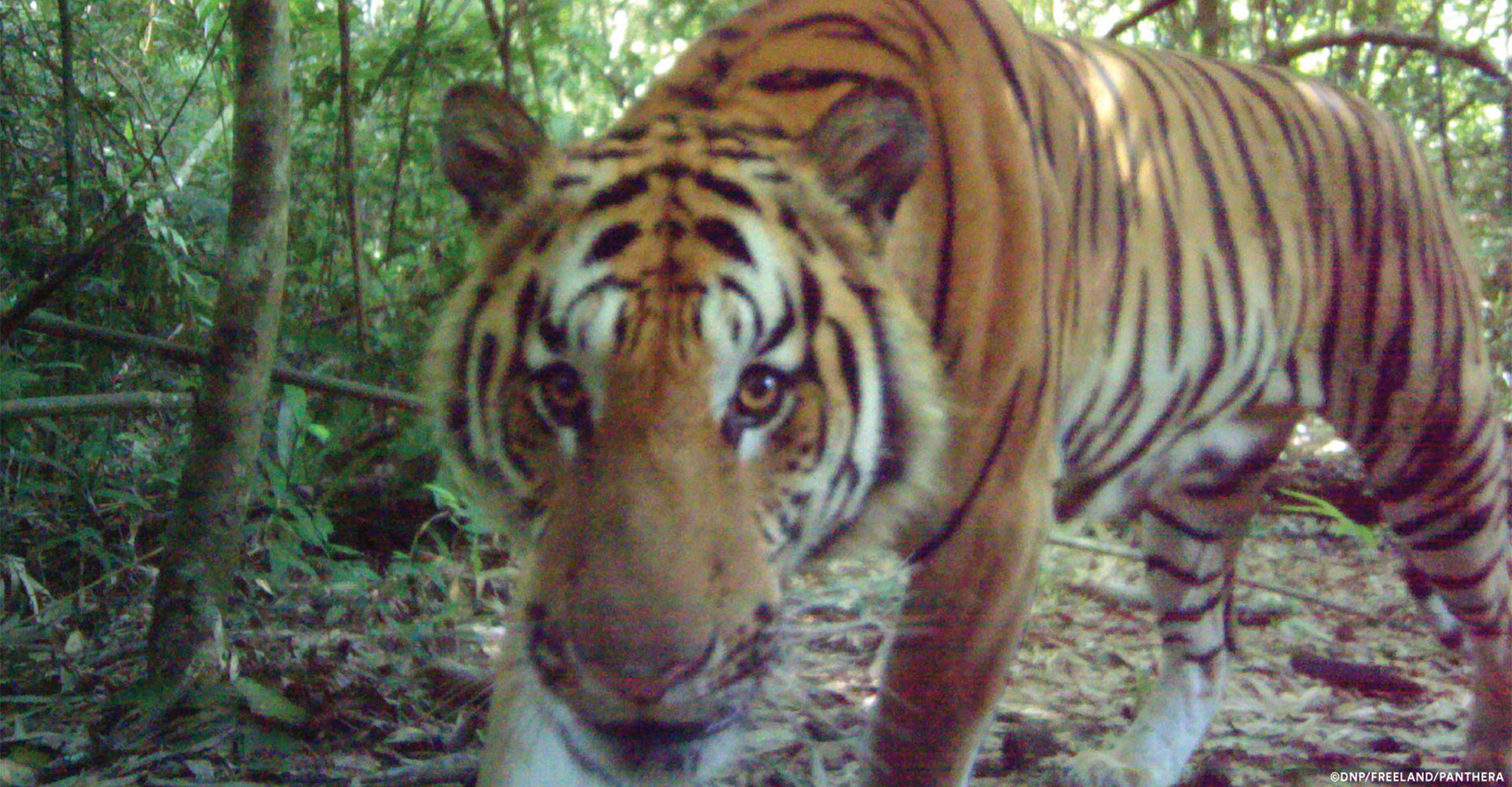 Breeding Indochinese Tiger Population Discovered - Conjour Editorial - Feature Image