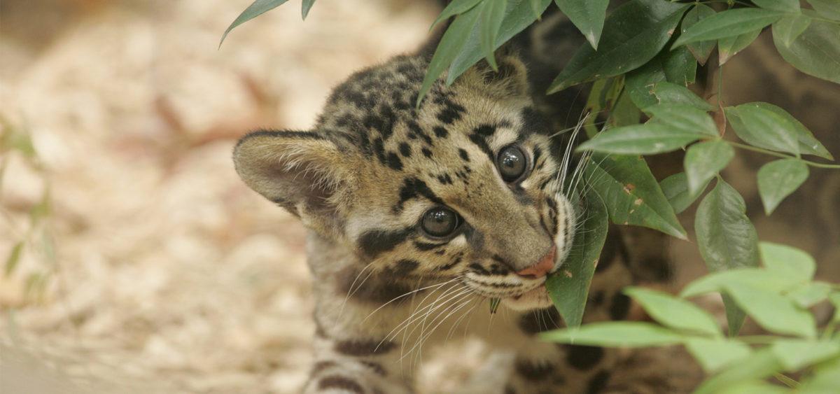 Clouded Leopard cub - Panthera - Conjour