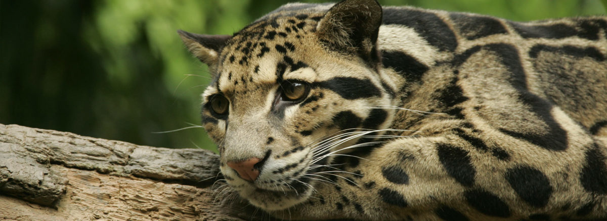 Clouded Leopard - Panthera - Conjour