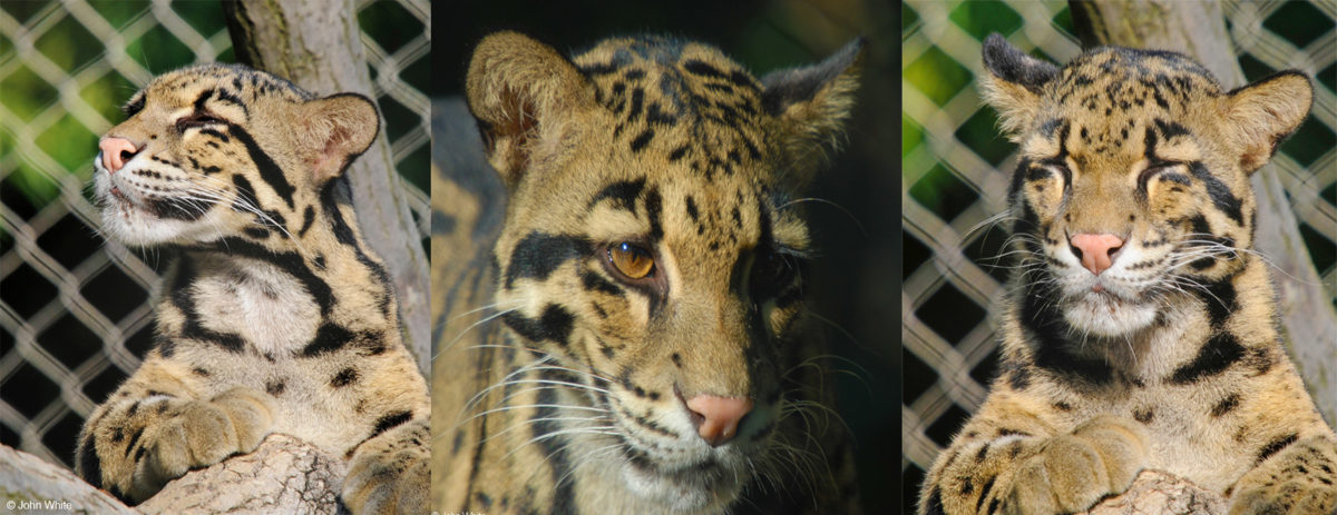 Clouded leopards - Panthera - Conjour