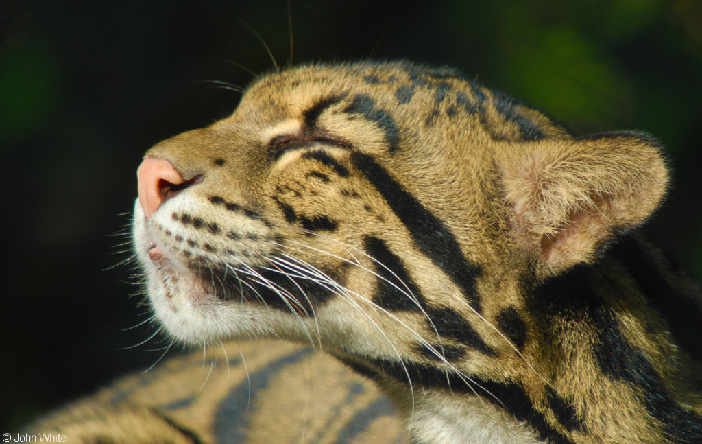 Clouded Leopard - Conjour Conservation Report - John White