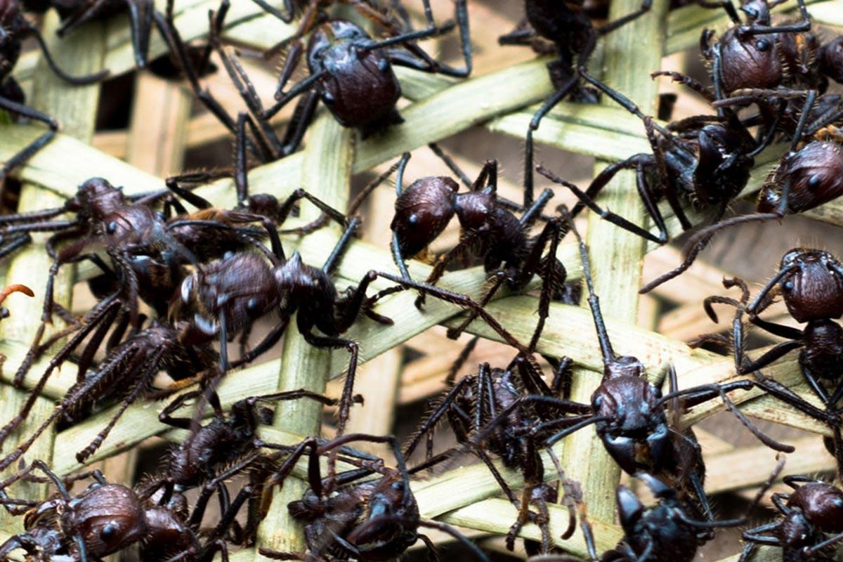 Conjour - Amazon Tribe - Stinging Ants - Deforestation - 1