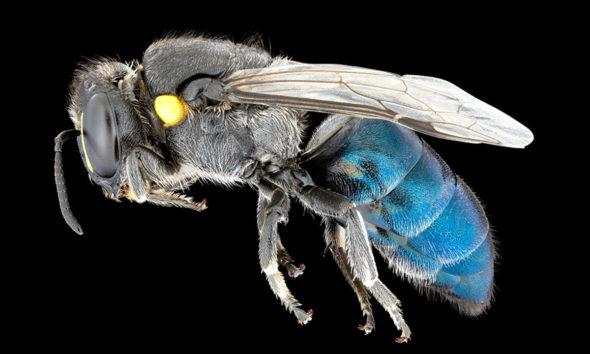 Conjour - Bees of Australia - Book Review - Bee Species - James Dorey - CSIRO - Macrophotography
