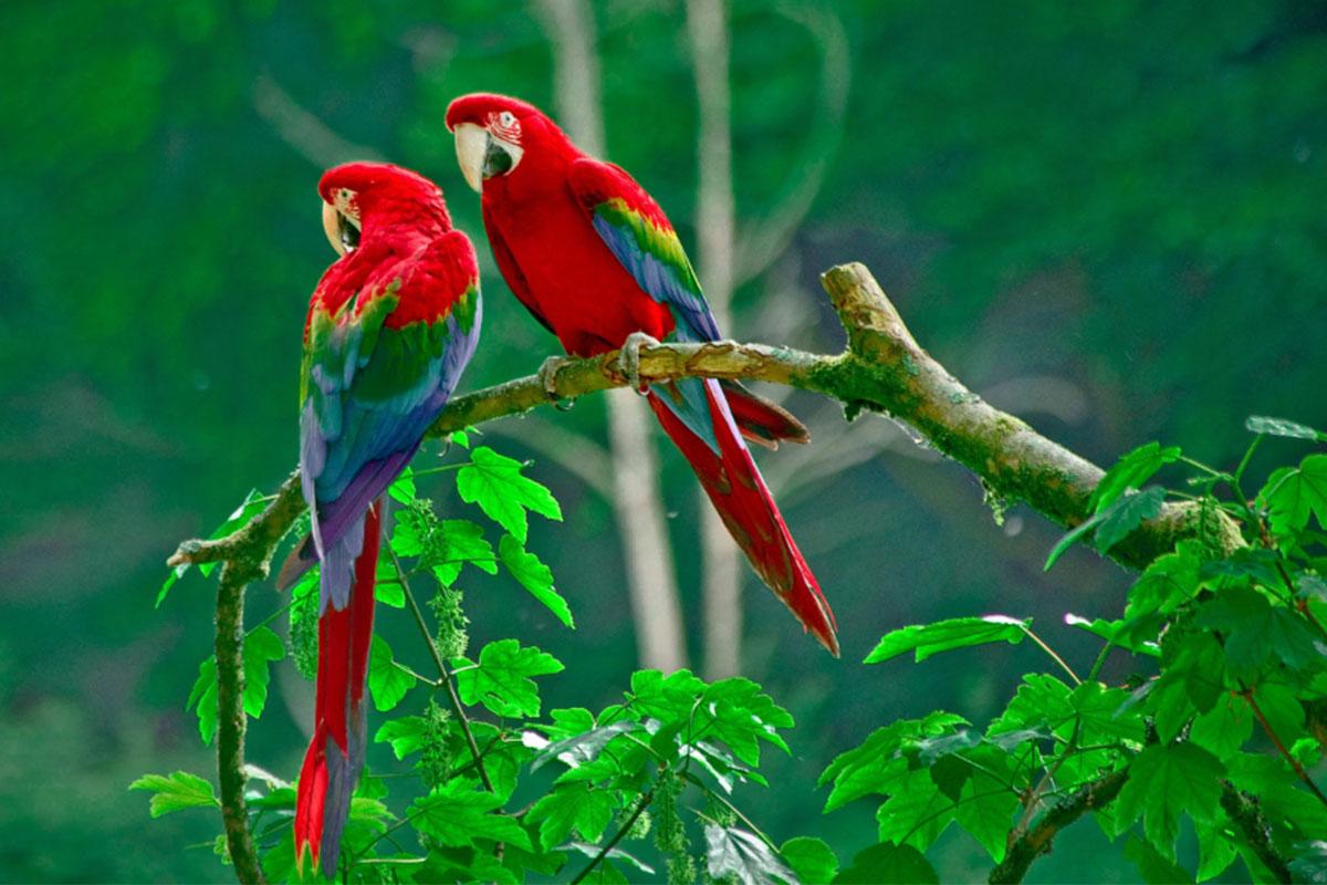 Conjour - Hoja Nueva - Macaws