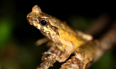 Conjour - New frog species - Hoang Lien horned frog 2