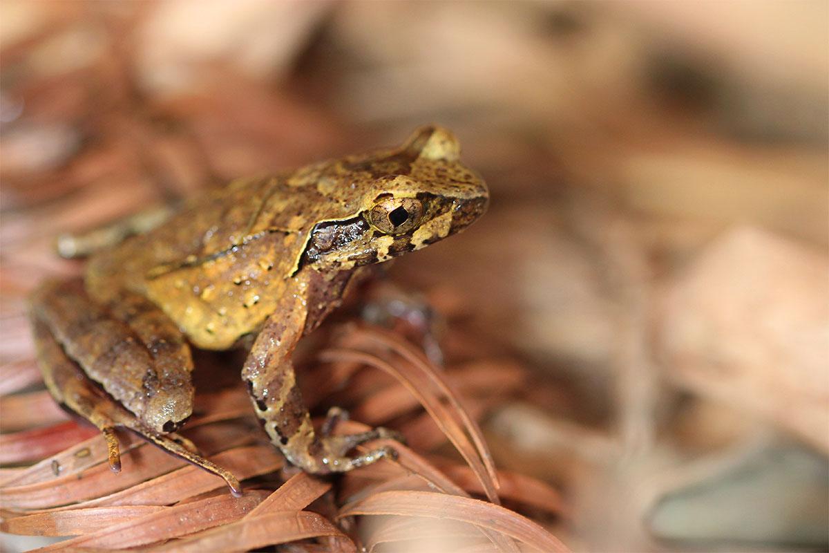 Conjour - New frog species - Hoang Lien horned frog