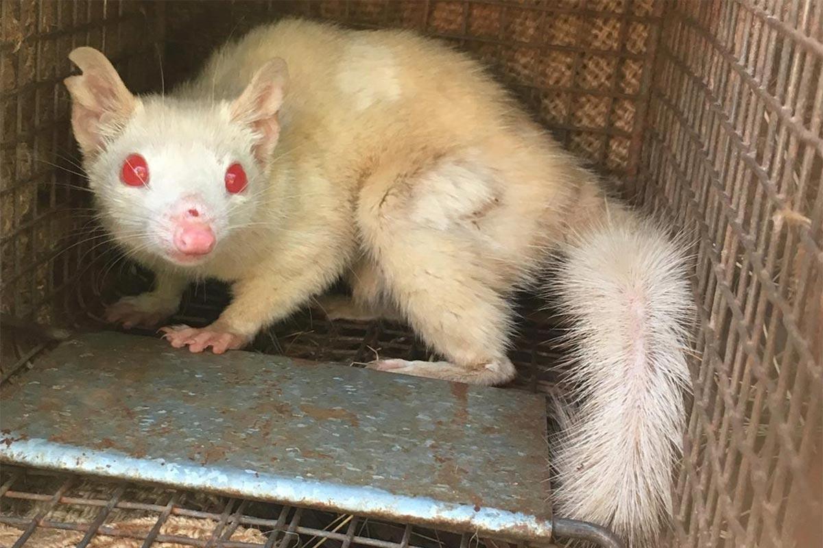 Conjour - Albino Northern Quoll