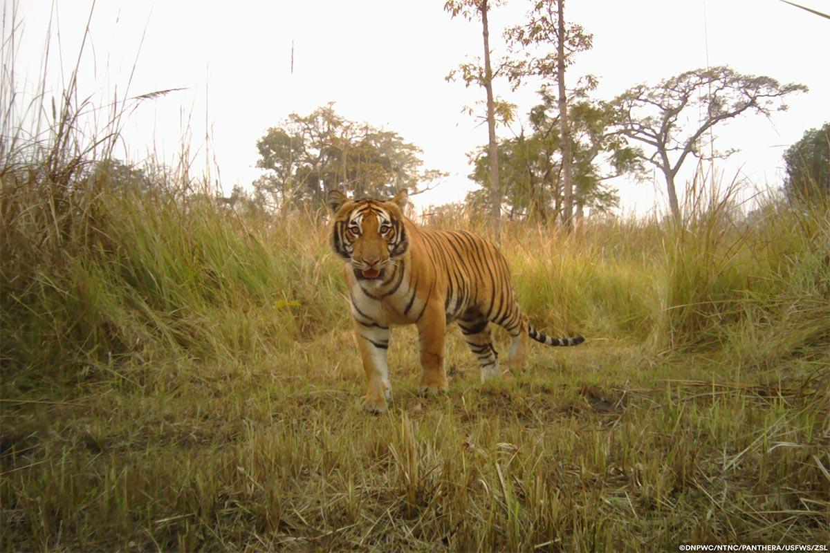 Conjour-Panthera-Tiger-1