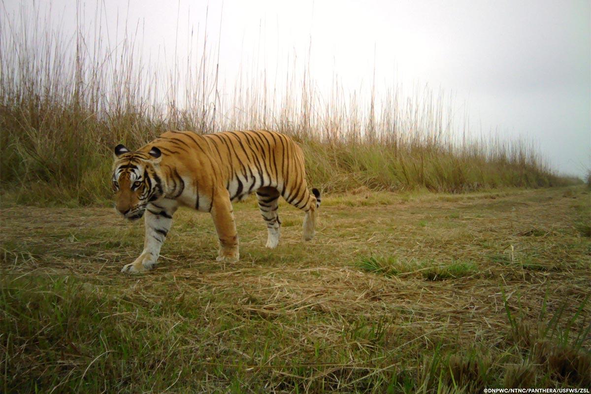 Conjour-Panthera-Tiger-3