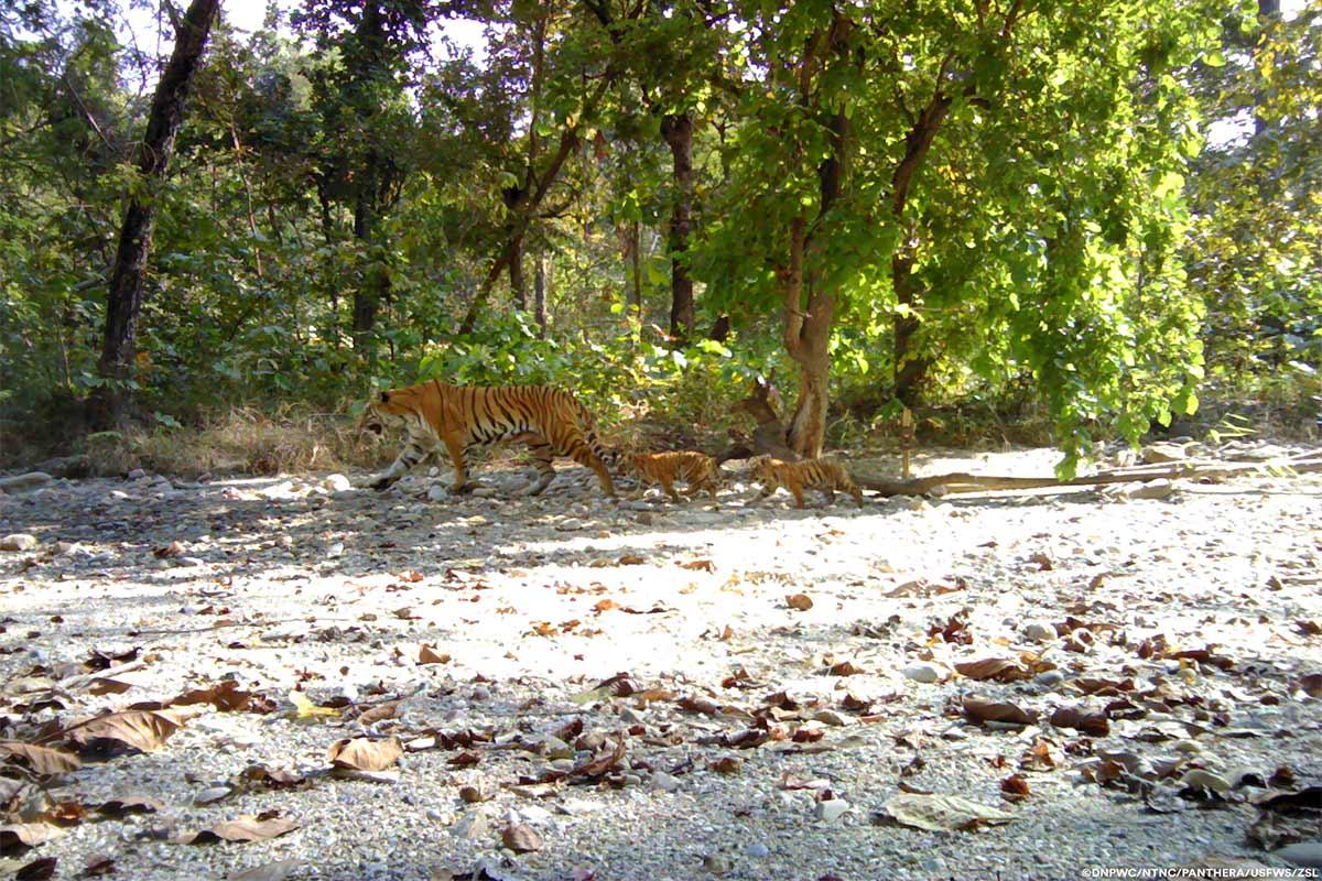 Conjour-Panthera-Tiger-4