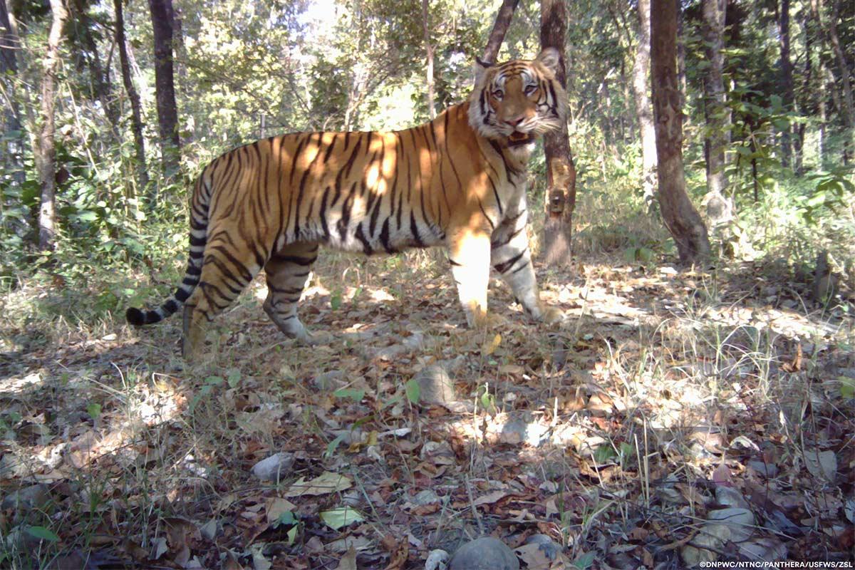 Conjour-Panthera-Tiger-5