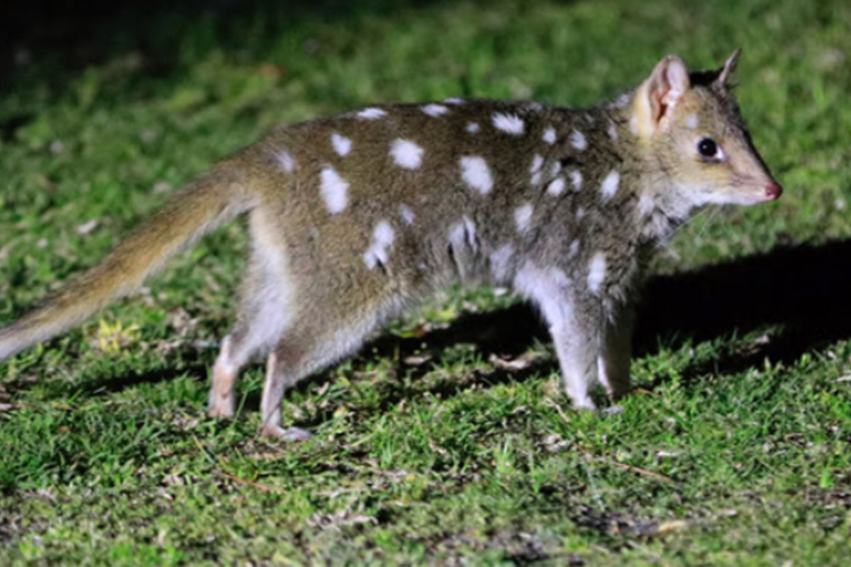 Conjour - Rewilding Australia - Eastern Quoll - Extinction