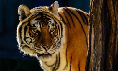 Conjour - Tiger - Avni killed - Maharashtra India