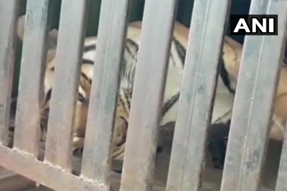 Conjour - Tiger - Avni killed - Maharashtra India