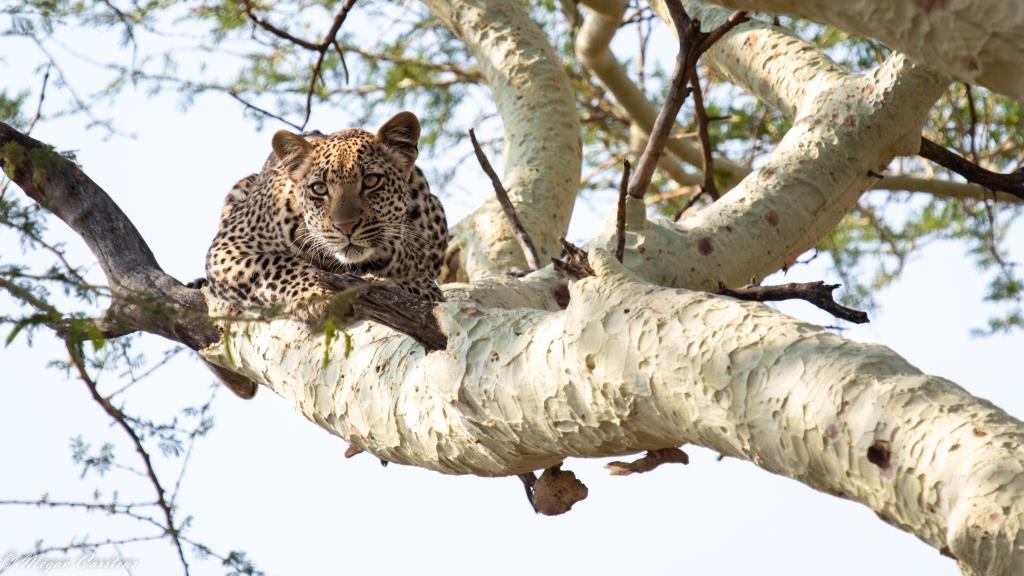Conjour - Wildlife Photography - Megan Carstens - Conservation Photography - Female Leopard in Tree